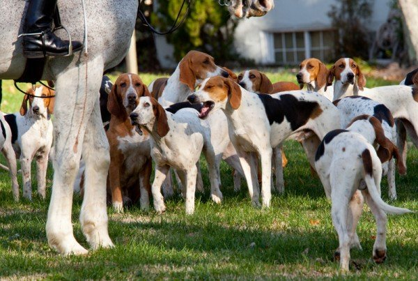 A group of white, black and tan hunting dogs